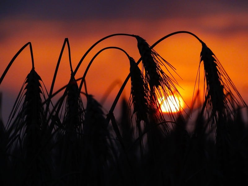wheat farm at sunset
